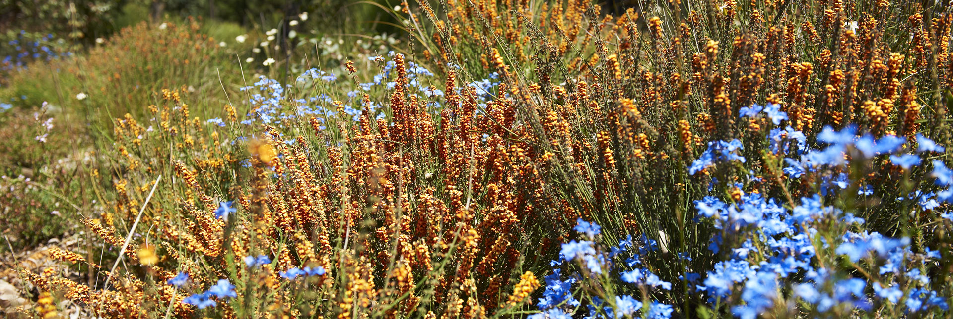 Western Australian spring wildflowers